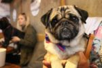 pug-cafe-pudsy-honey-3